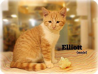 Domestic Shorthair Kitten for adoption in Glen Mills, Pennsylvania - Elliott