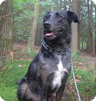 Catahoula Leopard Dog Mix Dog for adoption in Pompton Lakes, New Jersey - Catahoula boy
