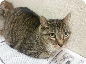 Domestic Shorthair Cat for adoption in Saint Cloud, Florida - Koda