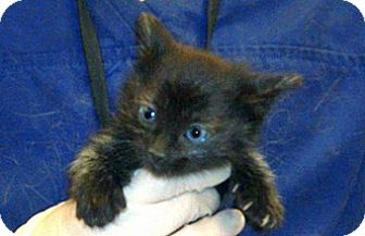 Domestic Shorthair Kitten for adoption in Wildomar, California - 330663