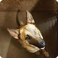 German Shepherd Dog Dog for adoption in Austin, Texas - Josie