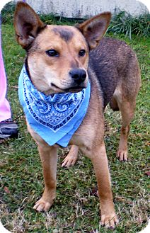 Shiba Inu Mix Dog for adoption in Bluff city, Tennessee - BEETHOVEN