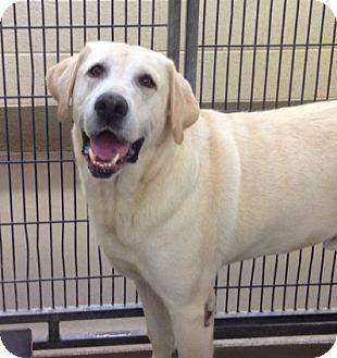 Labrador Retriever Dog for adoption in Nashville, Tennessee - Blaze
