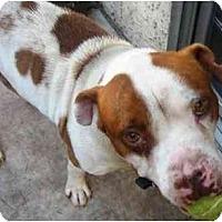 Adopt A Pet :: Handsome - Gilbert, AZ