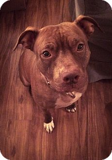 American Pit Bull Terrier Mix Dog for adoption in Livermore, California - Rosie