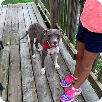 American Staffordshire Terrier Mix Puppy for adoption in Kewanee, Illinois - Princess