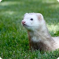 Adopt A Pet :: Marshall - Chantilly, VA