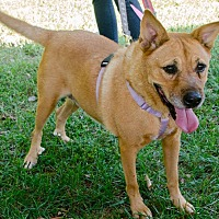 Labrador Retriever Mix Dog for adoption in Midlothian, Virginia - Grace