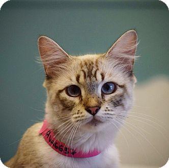 Domestic Shorthair Kitten for adoption in Dallas, Texas - Ciara