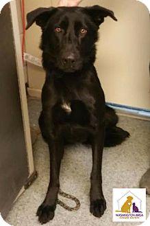 Labrador Retriever/Shepherd (Unknown Type) Mix Dog for adoption in Eighty Four, Pennsylvania - Black Beauty