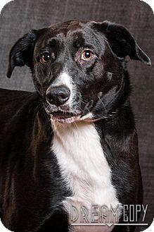 Labrador Retriever Mix Dog for adoption in Owensboro, Kentucky - Cayce