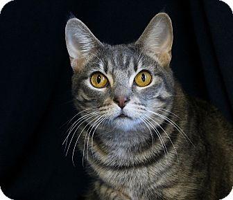 Domestic Shorthair Cat for adoption in Portland, Oregon - Frida