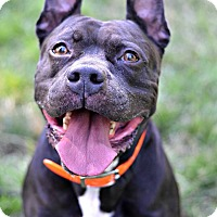 Staffordshire Bull Terrier/Boxer Mix Dog for adoption in Cranford, New Jersey - Blinky