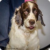 Springer Spaniel Dog for adoption in Martinsville, Indiana - Will I Am