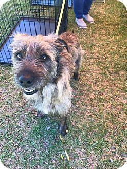 Otterhound Mix Dog for adoption in Hammond, Louisiana - Wally