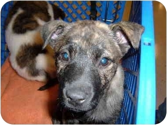 Boxer/Border Collie Mix Puppy for adoption in No.Charleston, South Carolina - Treasure