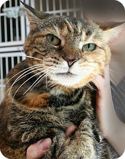 Domestic Shorthair Cat for adoption in Secaucus, New Jersey - Ziggy