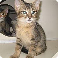 Adopt A Pet :: Cougar - Dallas, TX