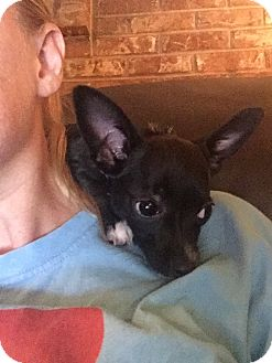 Chihuahua Mix Puppy for adoption in Nashville, Tennessee - Carly