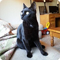 Bombay Cat for adoption in Los Banos, California - Beauty