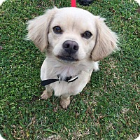 Adopt A Pet :: Cheese - Norman, OK
