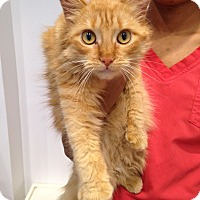 Adopt A Pet :: Miel - Brooklyn, NY