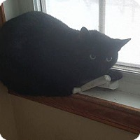Adopt A Pet :: Ebony - THORNHILL, ON