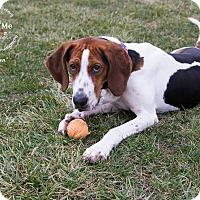 Adopt A Pet :: Cassian - New Milford, CT