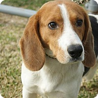 Hound (Unknown Type)/Beagle Mix Dog for adoption in Potomac, Maryland - Boone
