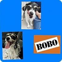 Adopt A Pet :: BOBO - Plano, TX