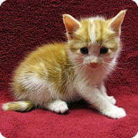 Adopt A Pet :: 17-c05-006 Cheeto - Fayetteville, TN