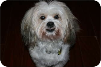 Lhasa Apso Mix Dog for adoption in Vancouver, British Columbia - Jackson - Watch My Video!