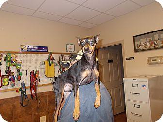 Miniature Pinscher Dog for adoption in Heber Springs, Arkansas - Damon