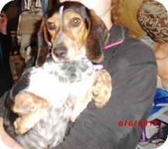 Beagle/Dachshund Mix Dog for adoption in Northumberland, Ontario - Jessie