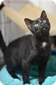 American Shorthair Cat for adoption in New Orleans, Louisiana - Sheldon