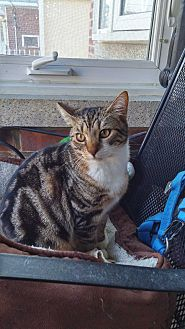Domestic Shorthair Cat for adoption in Bronx, New York - Tigger