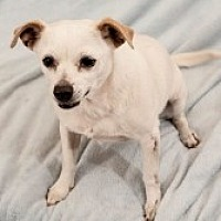 Chihuahua Mix Dog for adoption in Mesa, Arizona - Vivian