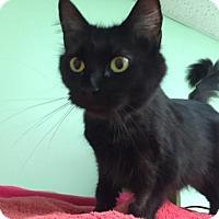 Domestic Mediumhair Cat for adoption in Canastota, New York - Gabbi