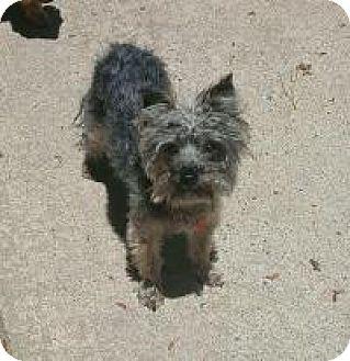 Yorkie, Yorkshire Terrier/Maltese Mix Dog for adoption in Mount Gretna, Pennsylvania - Carter