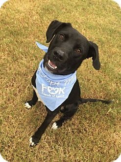 Labrador Retriever Mix Dog for adoption in Chattanooga, Tennessee - Bo