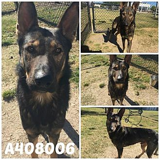 German Shepherd Dog Dog for adoption in SAN ANTONIO, Texas - NEMO