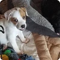 Pointer Mix Dog for adoption in Von Ormy, Texas - Snoopy