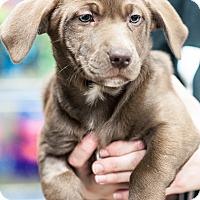 Adopt A Pet :: Ashley - Gainesville, FL
