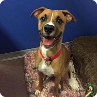 Adopt A Pet :: Almond - Denver, CO