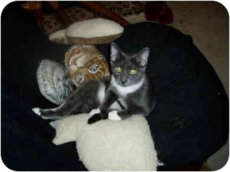 Domestic Shorthair Cat for adoption in Little Rock, Arkansas - Howard