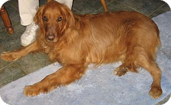 Golden Retriever Dog for adoption in New Canaan, Connecticut - Audie