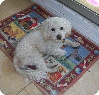 Poodle (Toy or Tea Cup) Dog for adoption in Studio City, California - Dior