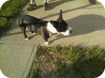 Staffordshire Bull Terrier/Boston Terrier Mix Dog for adoption in Alliance, Nebraska - Dooby