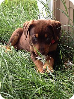 Labrador Retriever Mix Puppy for adoption in Russellville, Kentucky - Kinsey