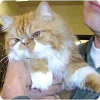Adopt A Pet :: Clyde - Beverly Hills, CA